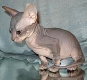 вернуться к объявлению: Котенок донского сфинкса.