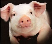 закупаем свинину в живом весе