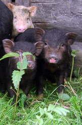 Поросята вьетнамской травоядной вислобрюхой свиньи