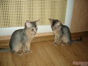 Абиссинские котята,  продажа,  Курск