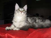 Котик мейн-куна (енотовидной кошки)