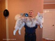 Котята  мейн-куна (енотовидной кошки)