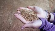 Пшеница крупным оптом напрямую от производителя