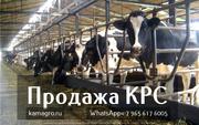 Продажа коров дойных,  нетелей молочных пород в  Украину.